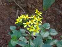 fiori  - Caronia (3675 clic)