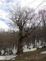 Acero Secolare Ai piedi del Monte Soro si può ammirare questo meraviglioso esemplare di Acero  - Cesarò (5331 clic)