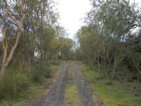 Passo delle Ginestre All'interno della colata lavica del 1981 si trova un breve tratto delimitato da ginestre sulla strada Altomontana. Randazzo, Pirao, Etna  - Etna (3391 clic)