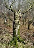 Albero a forma di donna. ALBERO DONNA  - Sommatino (3975 clic)