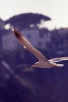 Gabbiano in volo  - Sciacca (3143 clic)