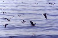 Gabbiani in volo  - Sciacca (4278 clic)