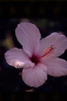 fiore di ibiscus  - Sciacca (3104 clic)