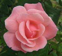 Rosa   - Palermo (2532 clic)