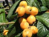 Pianta di Nespolo con frutto - PALERMO Alfredo Principe