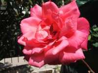 Rosa sbocciata - PALERMO Alfredo Principe