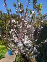 Albicocco in fiore - Marzo 2006 PALERMO Alfredo Principe