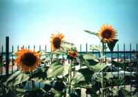 Girasoli -   - Palermo (3195 clic)