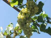 Grappolo d'uva - Ottobre 2006  - Palermo (2940 clic)