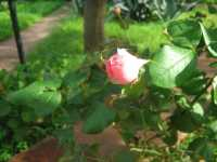 Bocciolo di rosa -  - Palermo (3393 clic)