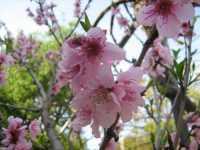 Pesco in fiore Pesco in fiore - Palermo - Marzo 2008  - Palermo (3455 clic)