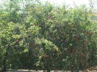 albero di ciliegio   - Camporeale (2714 clic)