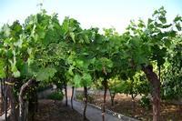 vigne   - Camporeale (1088 clic)