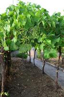 vigne   - Camporeale (1069 clic)