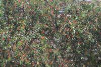 albero di amarene   con frutti   - Camporeale (2750 clic)