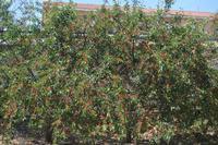 albero di amarene  con frutti   - Camporeale (4608 clic)