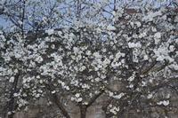 albero di amarene  in fioritura   - Camporeale (5380 clic)