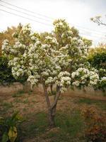 albero di pero   - Camporeale (10345 clic)