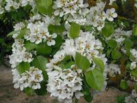 fiori di albero di pero   - Camporeale (9558 clic)