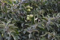 piccole mele verdi   - Camporeale (5062 clic)