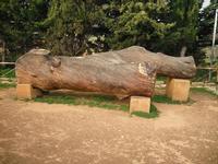 pirandello albero di meditazione  - Agrigento (7727 clic)