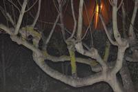 albero di fico   - Camporeale (2582 clic)