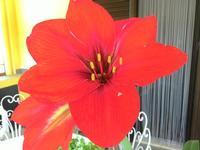 Amaryllis. Fiore di casa mia!  - Camporeale (772 clic)