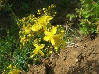 C.da L'Acqua La Vite - flora - 25 aprile 2010  - Castellammare del golfo (1468 clic)