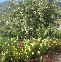 margherite, sulla e mandorlo in fiore: è primavera - 11 aprile 2010   - Segesta (2994 clic)