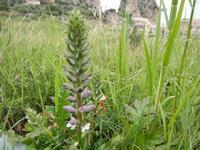flora - 23 aprile 2011  - Scopello (1339 clic)