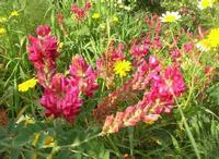 fiori di sulla e margherite: primavera - 11 aprile 2010   - Segesta (3800 clic)