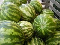 angurie locali (meloni d'acqua) - 26 luglio 2011  - Alcamo (908 clic)