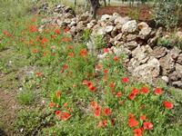 papaveri e muretto a secco - 1 maggio 2011  - Castelluzzo (1576 clic)