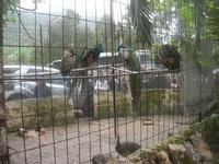 pavoni - 18 aprile 2010  - Sant'angelo muxaro (2248 clic)