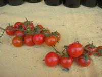 pomodoro di  Pachino - vecchio mercato - Infiorata 2010 - 16 maggio 2010  - Noto (2657 clic)