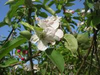 C.da L'Acqua La Vite - fiori di melo - 25 aprile 2010  - Castellammare del golfo (1777 clic)