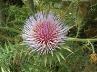 fiore cardo - 2 giugno 2010  - Bruca (2365 clic)