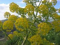 sul colle Pianto Romano - flora - 11 aprile 2010   - Calatafimi segesta (2291 clic)