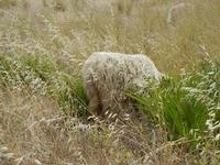 pecora al pascolo - 12 giugno 2011  - Cornino (1271 clic)