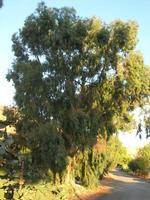 ficodindia ed alberi di eucalipto - 5 settembre 2010  - Custonaci (1971 clic)