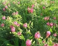 fiori di sulla - 11 aprile 2010   - Buseto palizzolo (3213 clic)