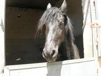 cavallo - scuderia del Castello di Rampinzeri - 6 giugno 2010  - Santa ninfa (1796 clic)