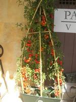 pomodoro di Pachino - vecchio mercato - Infiorata 2010 - 16 maggio 2010  - Noto (2738 clic)