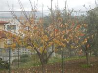 albero con foglie ingiallite - 15 dicembre 2011  - Alcamo (593 clic)