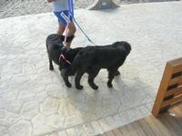 coppia di cani - 12 settembre 2010   - Marinella di selinunte (2146 clic)