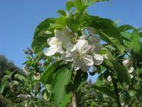 C.da L'Acqua La Vite - fiori di melo - 25 aprile 2010  - Castellammare del golfo (1696 clic)