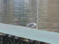 gabbiani su pontile mobile al porto - 30 ottobre 2011  - Castellammare del golfo (634 clic)