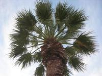 palma nel giardino pubblico - 30 gennaio 2011  - San vito lo capo (1205 clic)