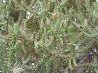 pianta grassa - 20 luglio 2010  - San vito lo capo (1575 clic)
