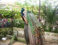 pavoni - 18 aprile 2010  - Sant'angelo muxaro (2048 clic)